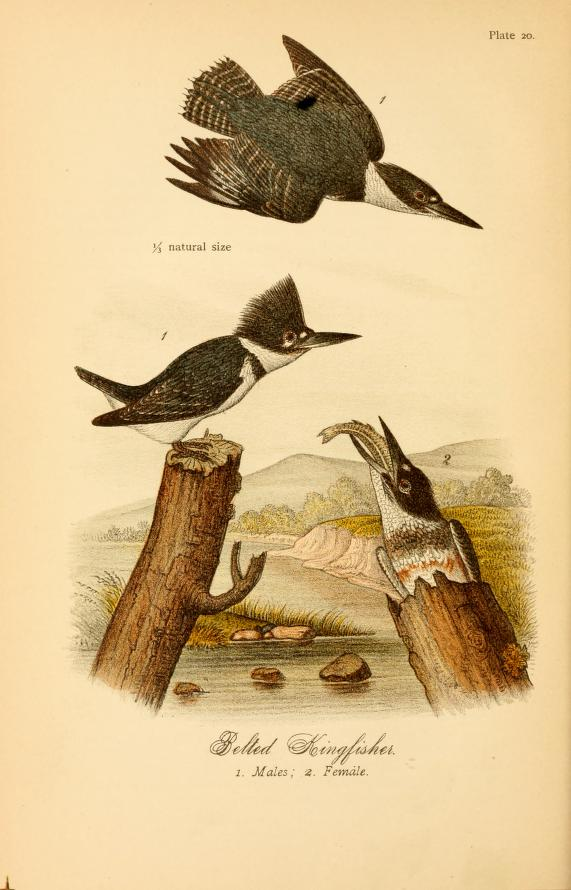 Color illustration of three belted kingfishers, two males (one flying) and one female emerging from the opening in the top of a hollow tree trunk.